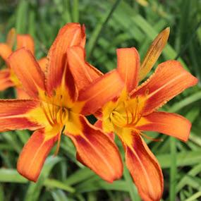 Wild Flower by Bharath Iyer - Flowers Flower Gardens ( wild flower, niagara falls )