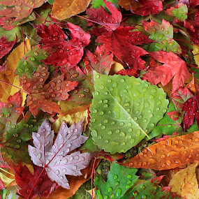 Autumn Leaves by Besnik Hamiti - Nature Up Close Leaves & Grasses ( fall leaves on ground, fall leaves, nature, poplar, colorful, color, fall, kosovo, drops, leaves, rain, maple )