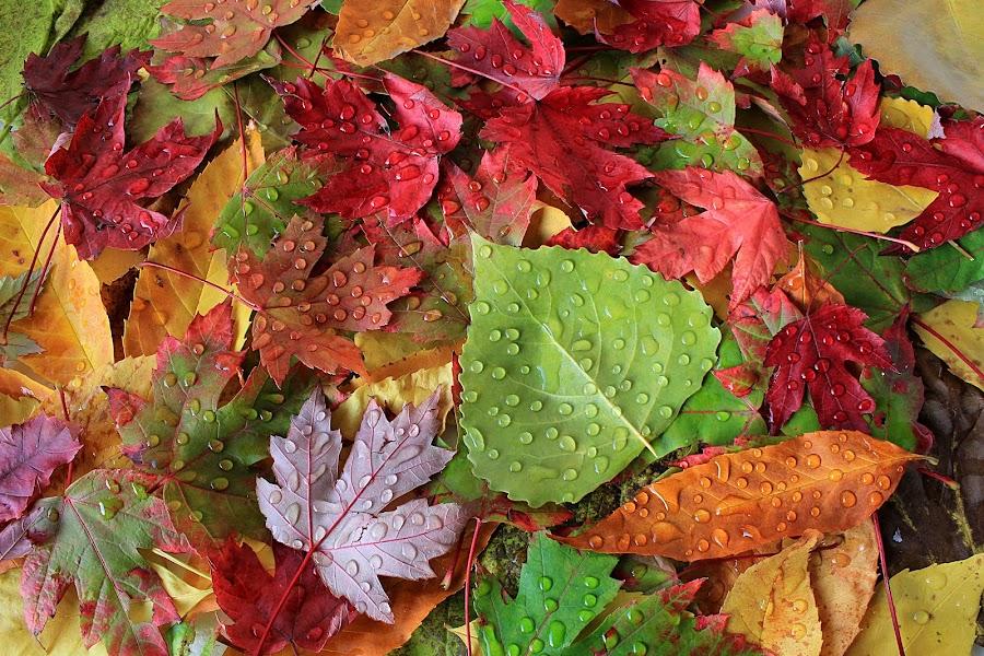 Autumn Leaves by Besnik Hamiti - Nature Up Close Leaves & Grasses ( fall leaves on ground, fall leaves, nature, poplar, colorful, color, fall, kosovo, drops, leaves, rain, maple )