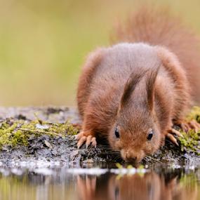 Squirrel by Robert van Brug - Animals Other Mammals ( drinken, dorst, drinking, eekhoorn, thirst, squirrel )