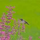 Broad Tailed Hummingbird (Female)