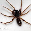 Ant Mimic/Ground Sac Spider
