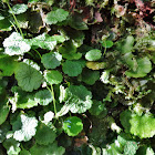 Tropical Marshpennywort