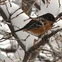 Spotted Towhee - male
