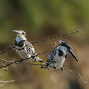 Pied Kingfisher (Male & Female)