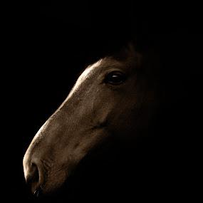 Horse Portrait by Dragos Birtoiu - Animals Horses ( animals, shadow, horse, horse photography, photography )