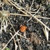Ladybird spider (male)