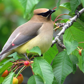Cedar Waxwing by Patti Hobbs - Animals Birds ( animals birds cedar waxwing cherries )