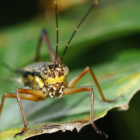 Defect Grasshopper by aRie Fitri - Animals Insects & Spiders ( macro, defect, belalang, grasshopper, cacat )