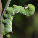 Tobacco Hornworm/Carolina Sphinx Moth Larvae