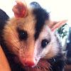 Gambá, gambá de orelha branca, opossum