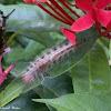 tussok moth