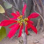 Red Flower ( Unknown )