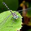 Eastern Least Clubtail Dragonfly