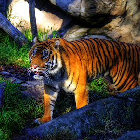 Tiger by Ned Kelly - Animals Lions, Tigers & Big Cats ( cat, taronga, zoo, tiger, australia, sydney,  )