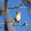 Common Chaffinch / Buchfink