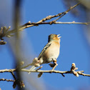 Common Chaffinch / Buchfink