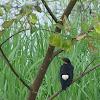 (Shalik)Asian Pied Starling