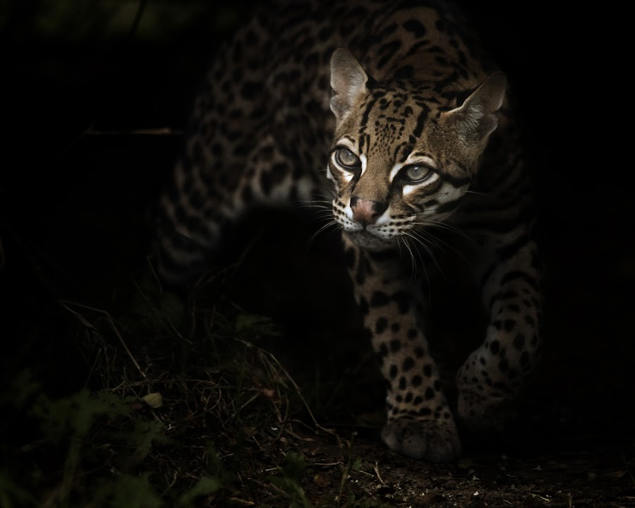 Out of the Shadows by Selena Chambers - Animals Other Mammals ( out of the shadows, ocelot, small cat,  )