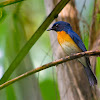 Mangrove Blue Flycatcher