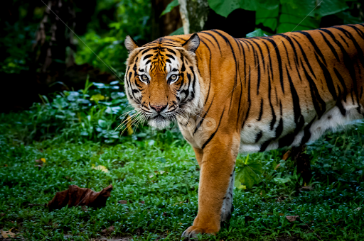 The Malayan tiger (Panthera tigris jacksoni) | Lions, Tigers & Big ...