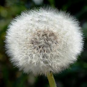 Dandelion by Shona McQuilken - Flowers Flowers in the Wild (  )