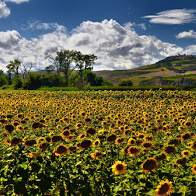 Sunflowers field by Salvatore Amelia - Landscapes Prairies, Meadows & Fields