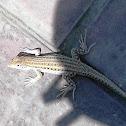 Bosk's Fringe-toed Lizard