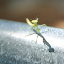 Baby Praying Mantis