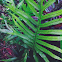 Laua'e or Maile-Scented Fern
