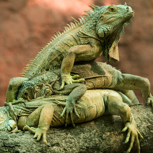 3 Lizards Final.jpg