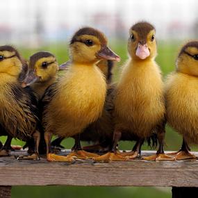 Duckling by Marcelino Moningka - Animals Birds ( nature, duckling, cute, animal )