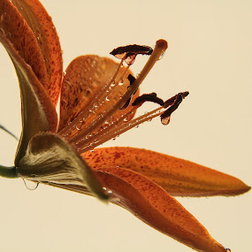 Wet lilly by Mario J - Flowers Single Flower ( art, drops, lilly, flower )