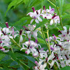 Chinaberry, Persian Lilac, Pride of India