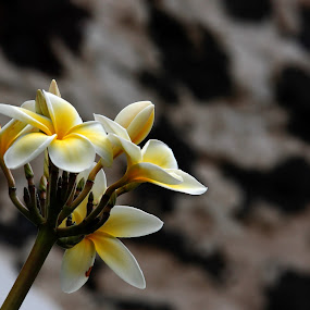 Plumeria Blossom by Aaron Gould - Flowers Tree Blossoms