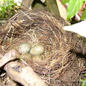 Common/Eurasian Blackbird (nest/eggs)