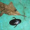 Escarabajo acuático. Water scavenger beetle