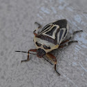 Two Spotted Stink bug