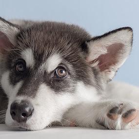 K'eyush (Bear Cub) by Stuart Partridge - Animals - Dogs Puppies ( stuart, alaskan, puppies, husky, d600, partridge, puppy, nikon, malamute, giant )