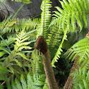 Lacy Tree Fern