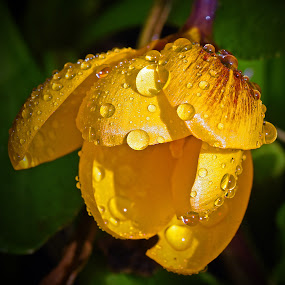 Yellow Rock by Marco Bertamé - Flowers Flowers in the Wild ( water, sprimng, wild, yeloow, crocus, droplets, open, season, shadow, drops, sunshine, shower, raindrops, flower, rain, opened, , mood factory, color, lighting, moods, colorful, light, bulbs, mood-lites )
