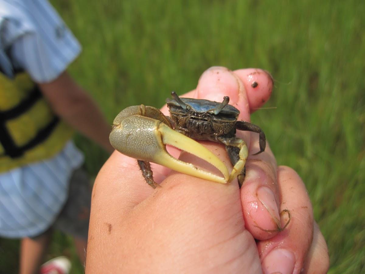 Marsh Fidler Crab