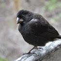 Darwinian finch