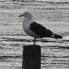 Black backed Gull or Karoro