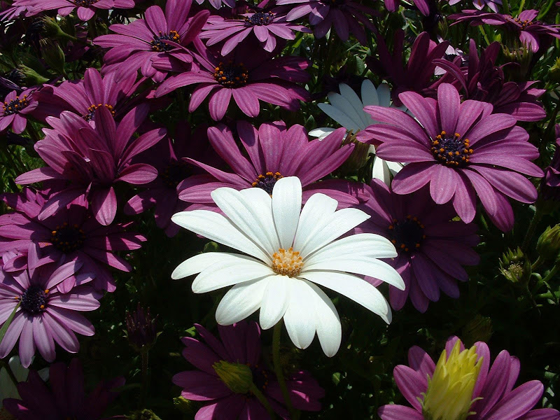 Fotos Gratis  Naturaleza - Flores - Margaritas violetas