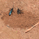 Spider Wasp with prey