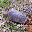 Common Eastern Snapping Turtle