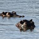 Hippo; Swahili: Kiboko