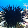 Blue black urchin