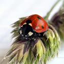 seven-spot ladybird (dt. Siebenpunkt-Marienkäfer)